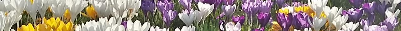 crocuses thinner strip